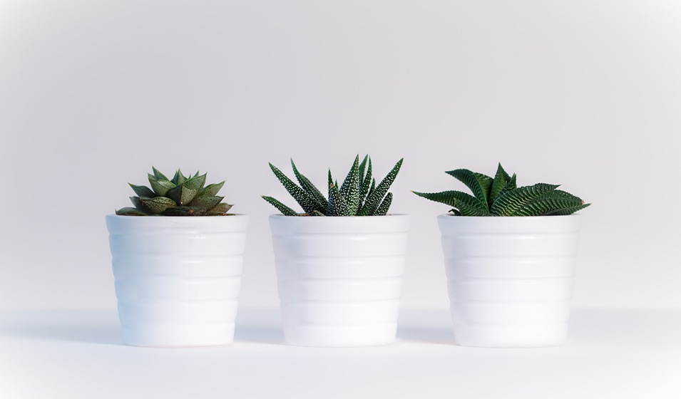 three succulents in white pots